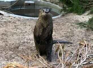 Veja vídeo com etapas da reabilitação da lontra órfã que finalmente voltou para a natureza