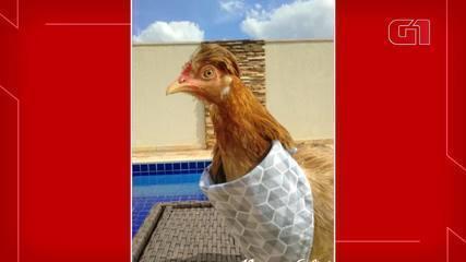 Conheça Nugget, a galinha que anda de moto e mora em um 'castelo' no DF
