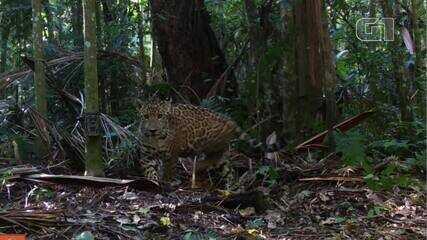 Dois novos filhotes de onça-pintada são registrados no Parque Nacional do Iguaçu