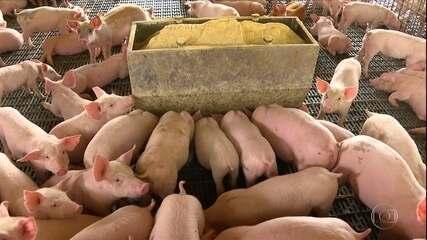 Exportações recordes de carne de porco em 2020 animam criadores do RS