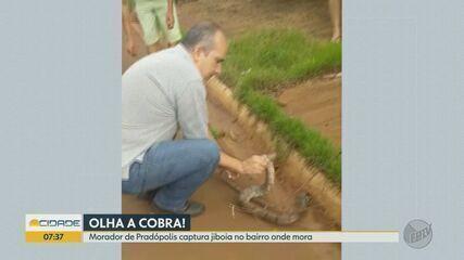 Morador captura jiboia em rua de Pradópolis, SP