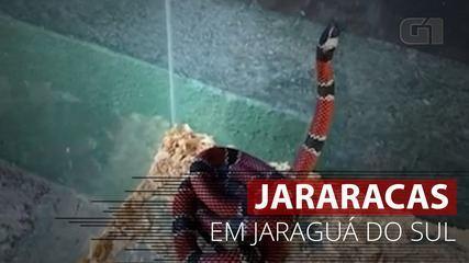 VÍDEO: Jararacas são capturadas em Jaraguá do Sul