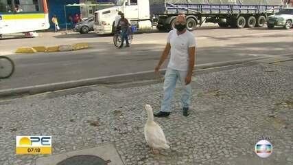 Balconista e ganso de estimação chamam a atenção no Recife
