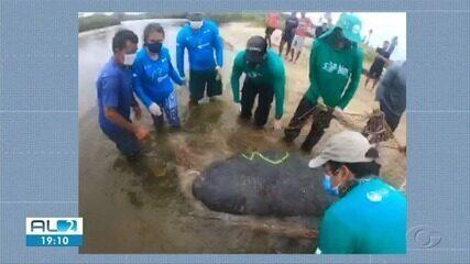 Biota captura peixe-boi marinho para avaliação de saúde