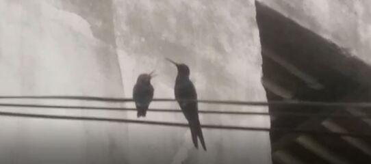 Observador de aves monitora ninho de beija-flor-tesoura construído no quintal