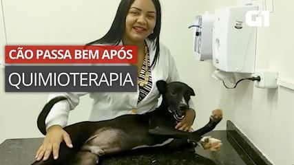 O cão passa por quimioterapia após o diagnóstico de câncer.
