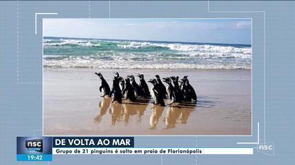Grupo de 21 pinguins é solto em praia de Florianópolis