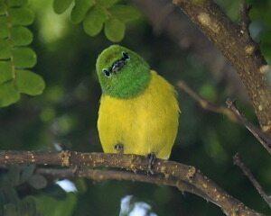 Gaturamo-bandeira canta e mostra a desenvoltura corporal para projetar a vocalização