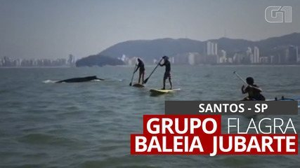 Canoísta flagra baleia jubarte nadando ao lado de grupo em Santos, SP