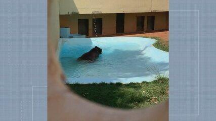 Urso Robinho ganha gelado e tem até ar-condicionado no Zoológico de Goiânia