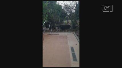 Vídeo mostra tamanduá-bandeira dentro de sítio em Vista Alegre do Alto, SP