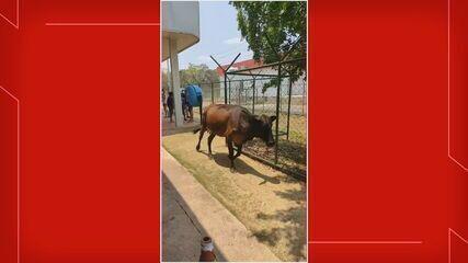 Vaca invade Unidade Básica de Sobradinho, no DF