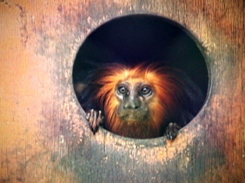 Globo Natureza: mico-leão-de-cara-dourada