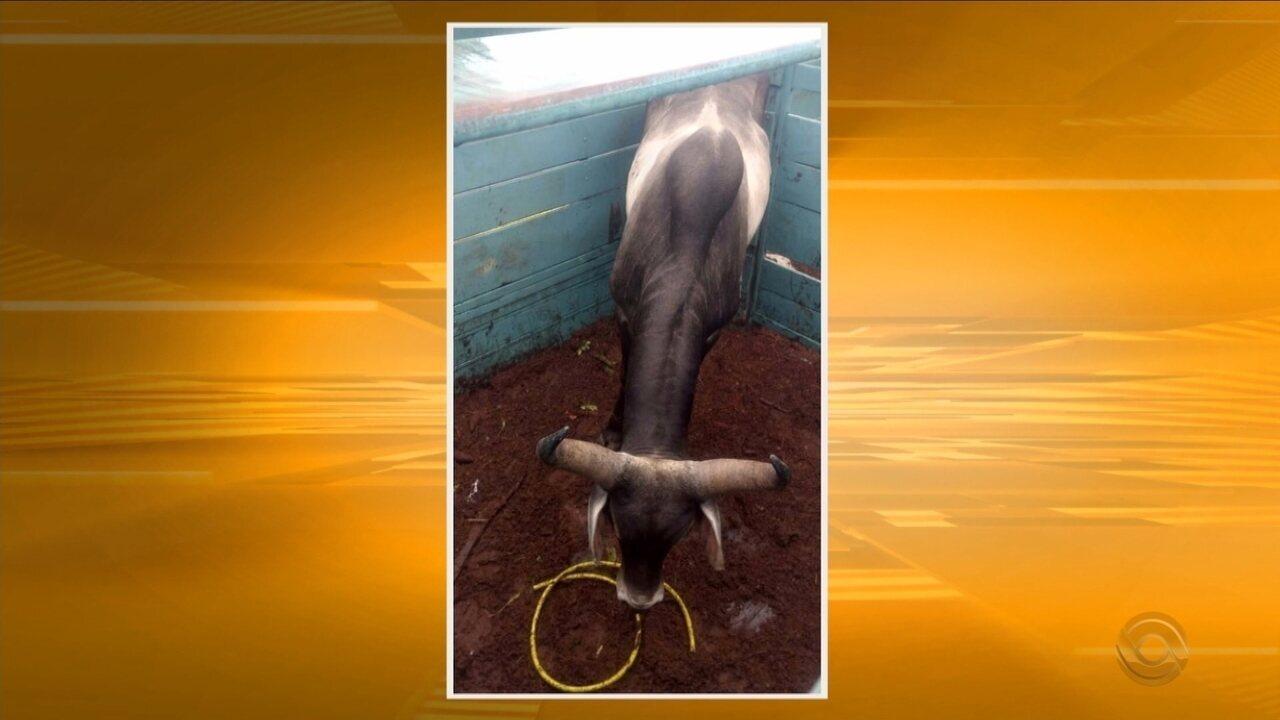 Polícia prende homem após denúncia de farra do boi na Grande Florianópolis