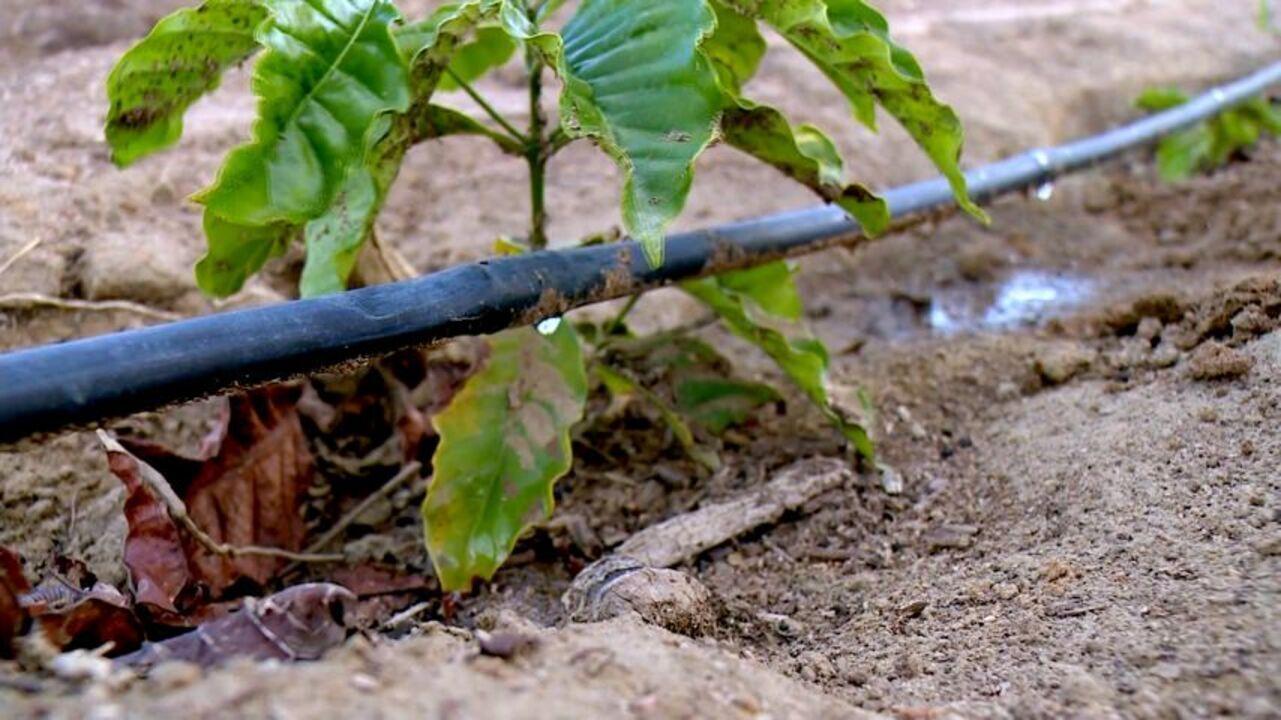 Jornal do Campo mostra belo exemplo de irrigação por gotejamento