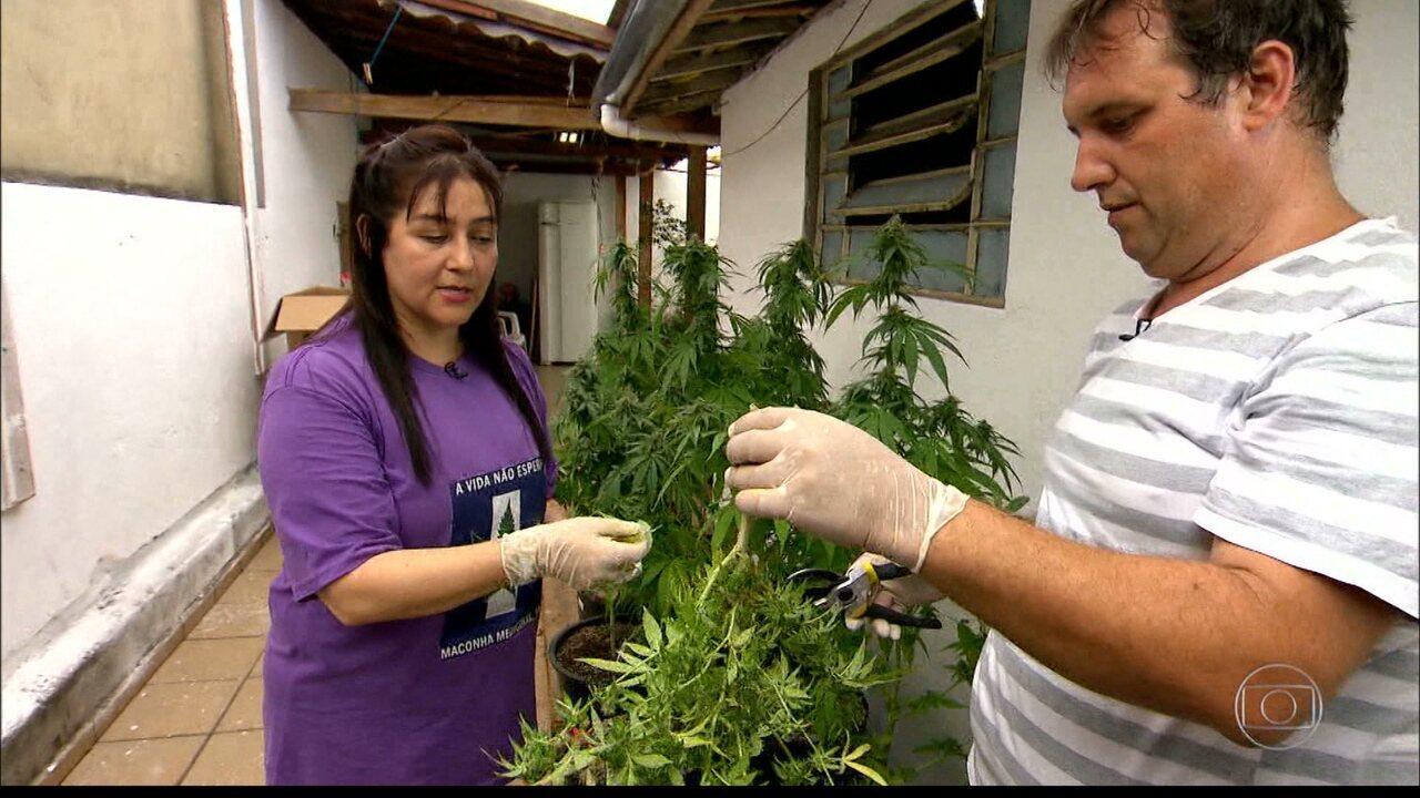 Justiça autoriza cultivo da maconha para fins medicinais