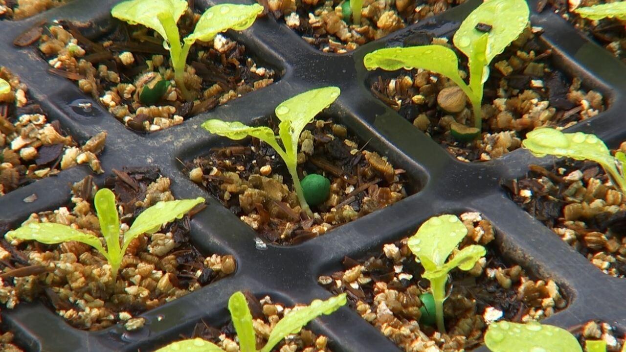 Agricultores investem em mudas prontas para obter melhor produtividade