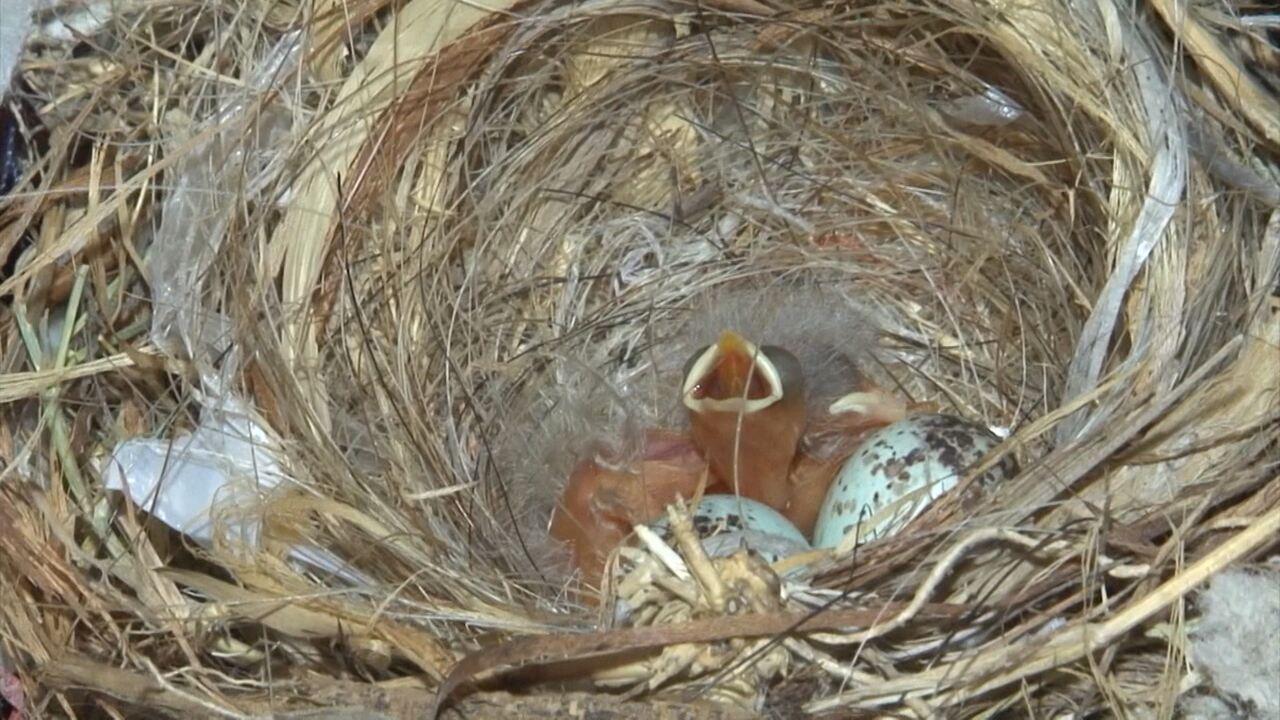 Bahia rural casal de passarinhos cria ninho na estante for Cria de tilapia en casa