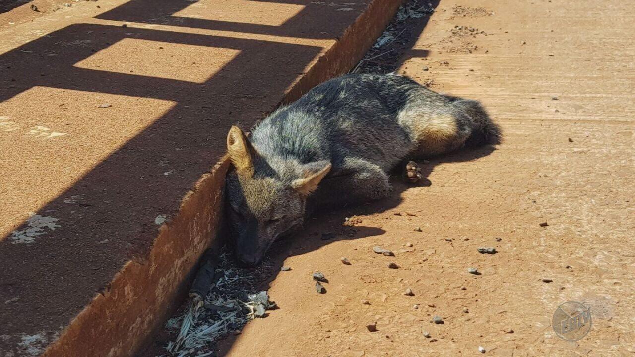Raposa morre depois após ser atropelada na Rodovia Altino Arantes em Orlândia, SP