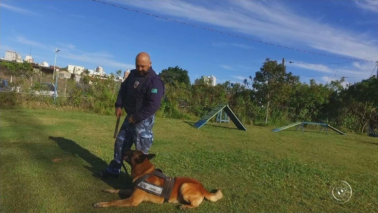 Cão da Guarda de Jundiaí tem certificado de busca e captura de pessoas