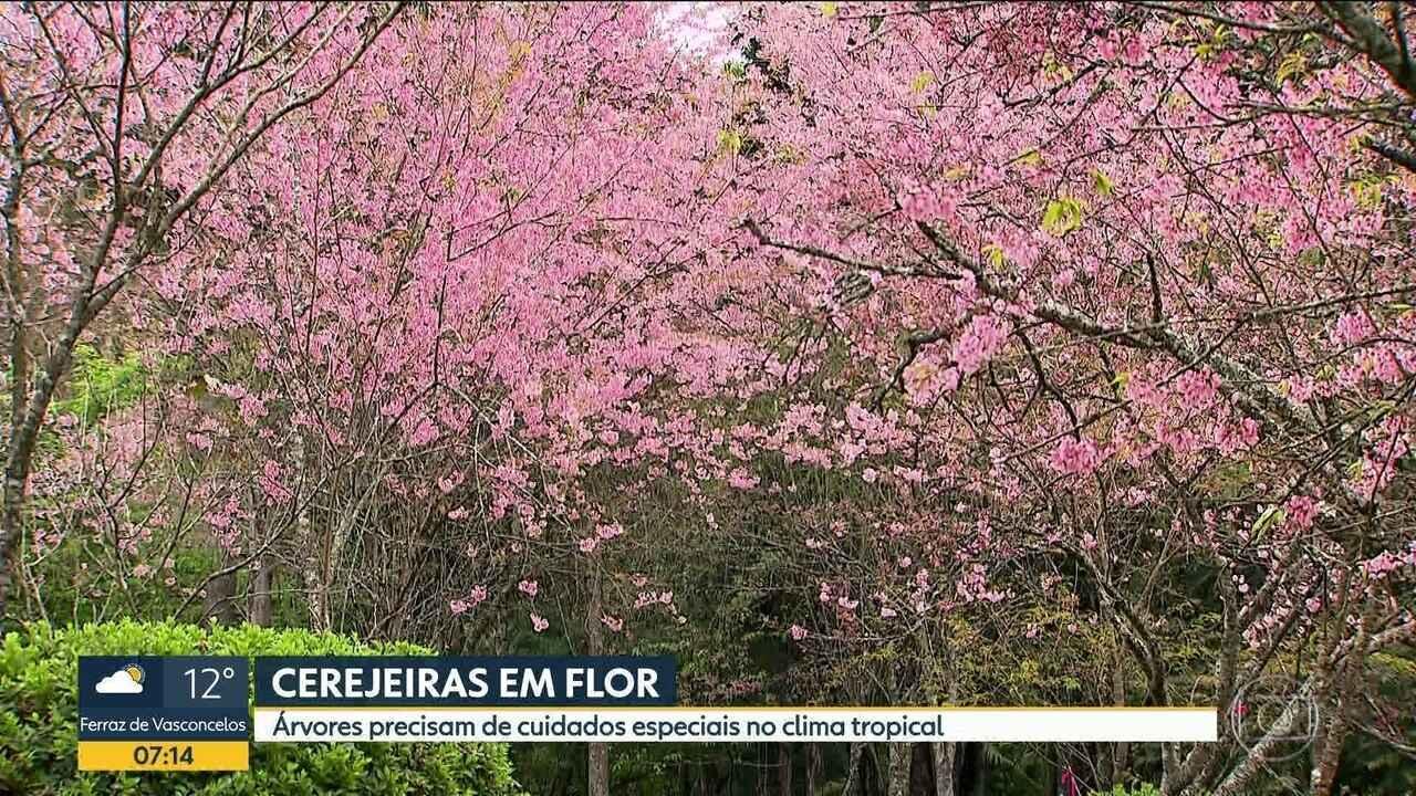 Variedades de cerejeiras floridas encantam visitantes no Parque do Carmo
