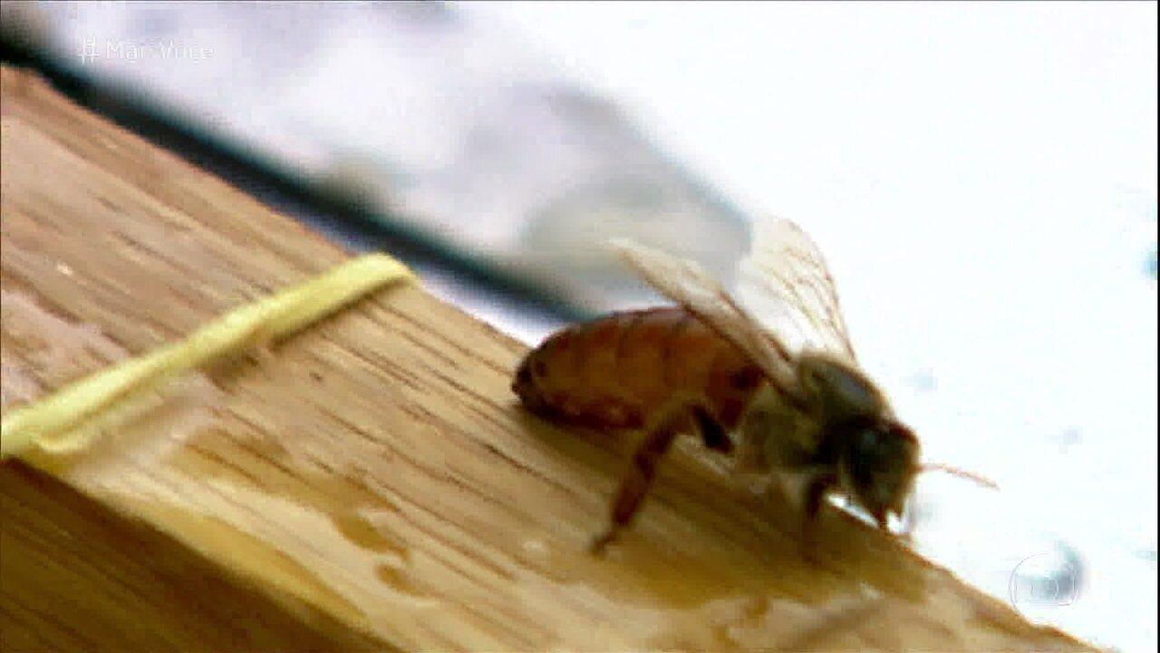 Diminuição do número de abelhas ameaça a agricultura no mundo