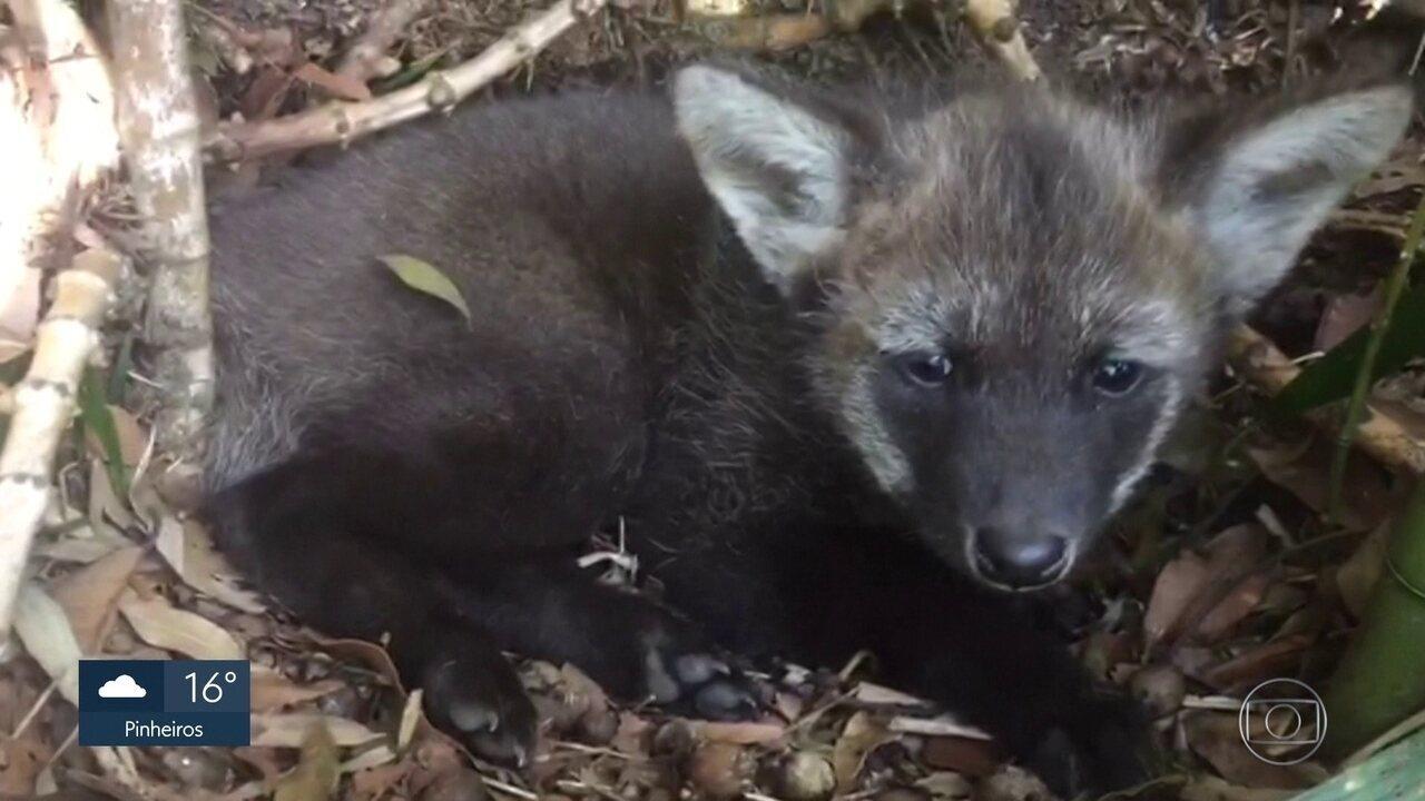 Filhotes de lobo-guará são a nova atração do Zoológico de São Paulo