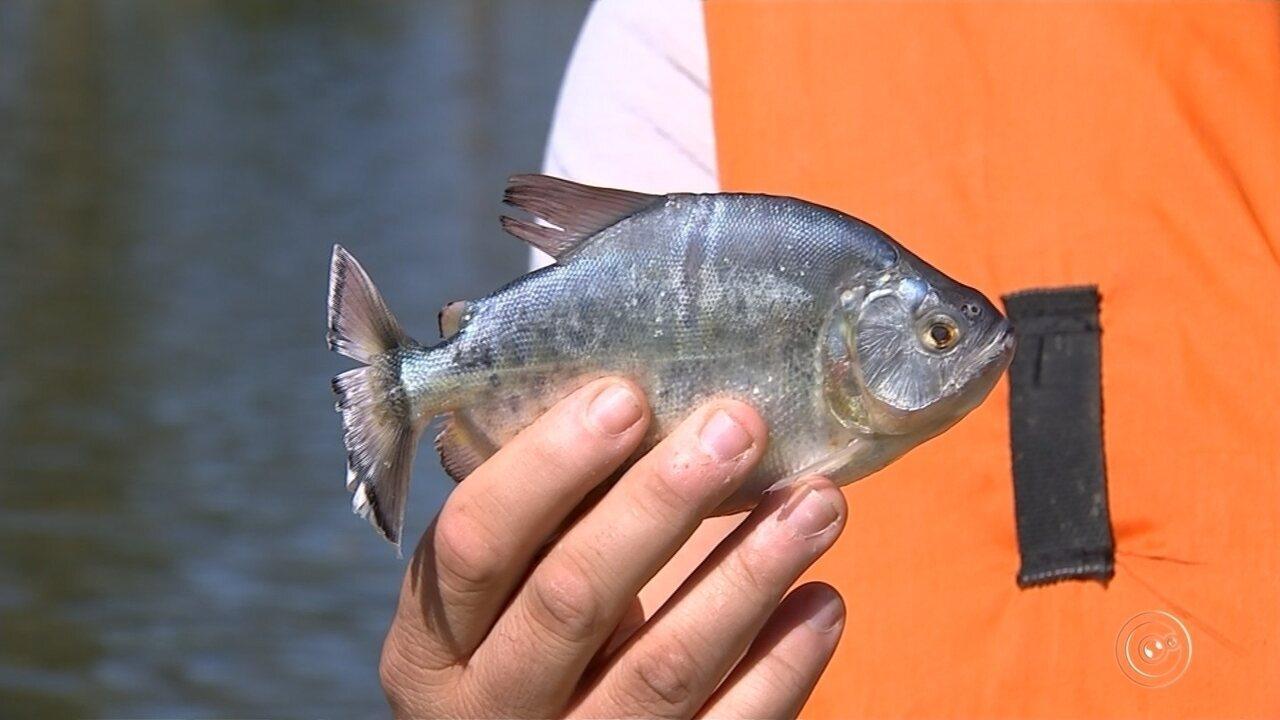 Presença de piranhas em lago de Araçoiaba da Serra preocupa moradores e pescadores