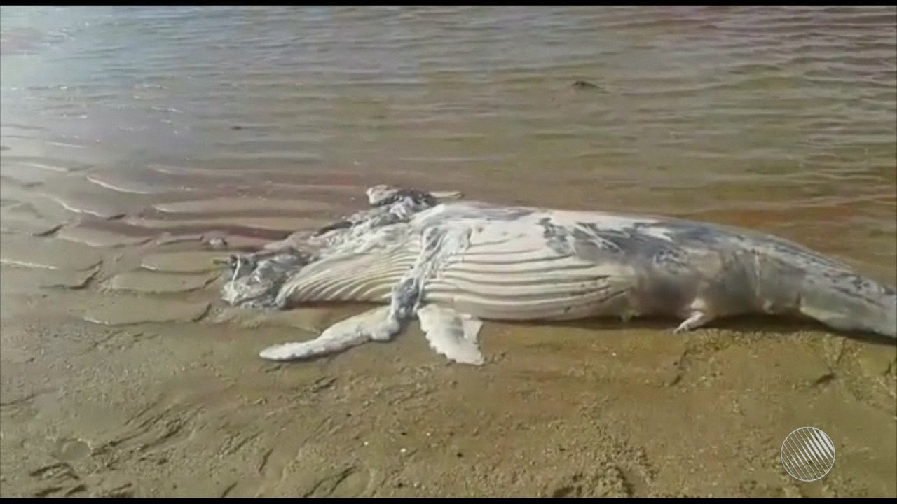 Morre filhote de baleia jubarte encontrada na Praia de Japaratinga