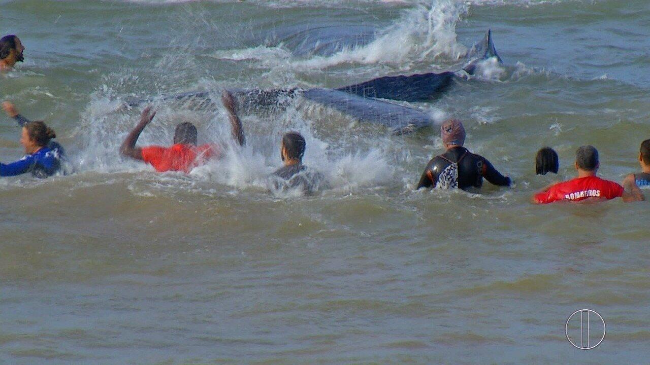Filhote de baleia que ficou encalhado por quase um dia é devolvido ao mar no RJ
