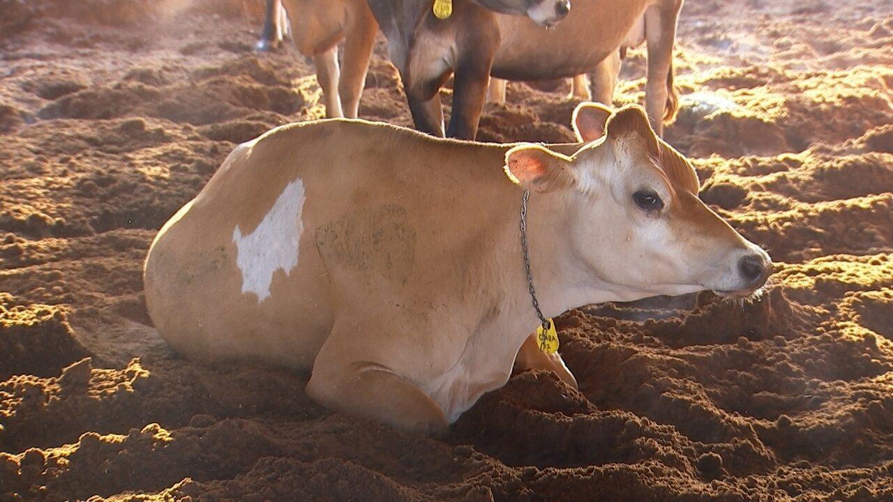 Sistema de confinamento alternativo prevê aumento da produtividade na pecuária de leite