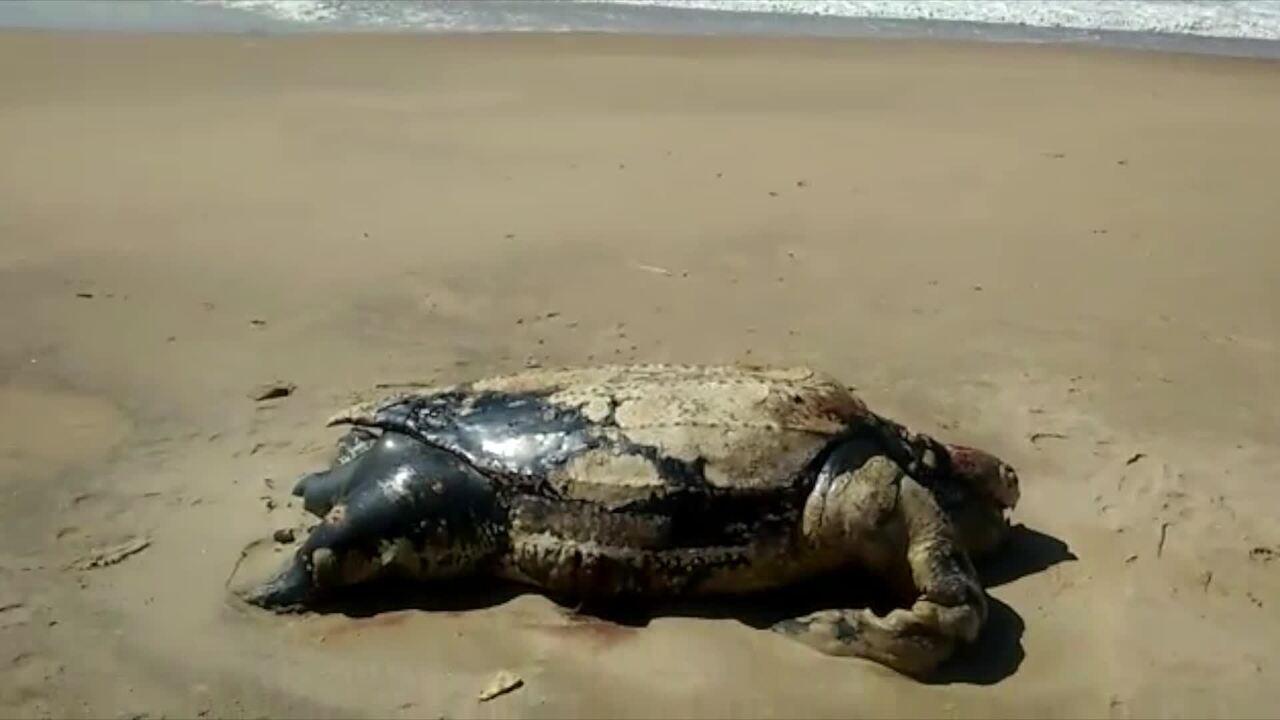 Armario A Medida Barato ~ Tartaruga com cerca de 250 kgé encontrada morta em praia de Rio das Ostras, no RJ Regi u00e3o dos