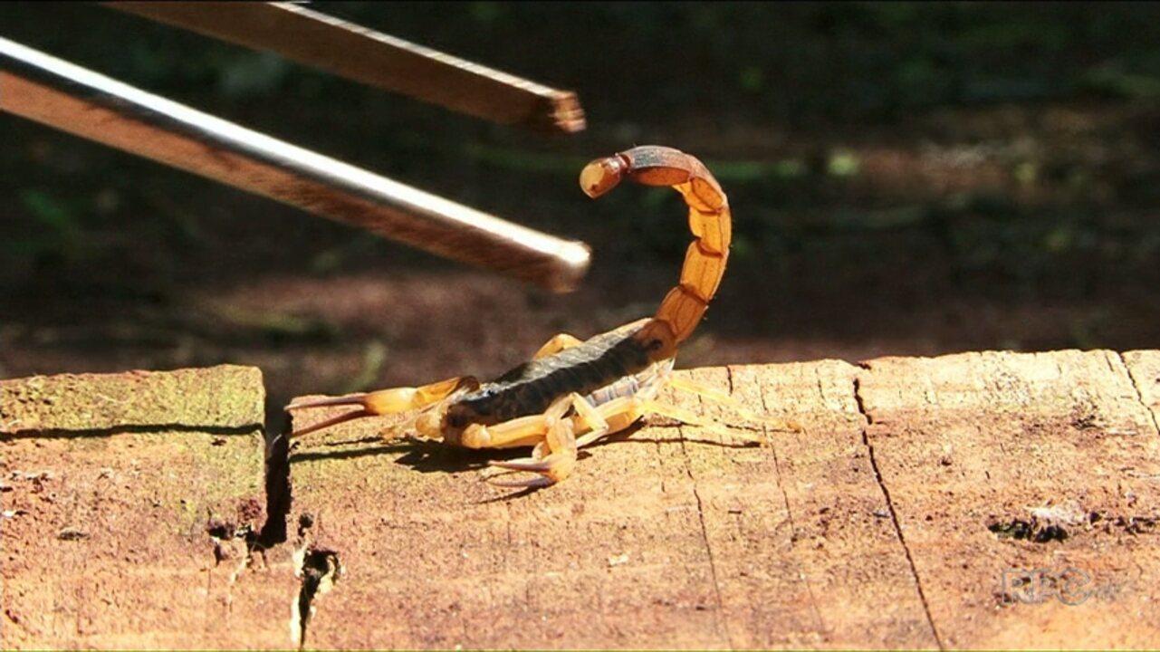 Paraná já registra 800 casos de picadas de escorpiões; Jussara está em epidemia