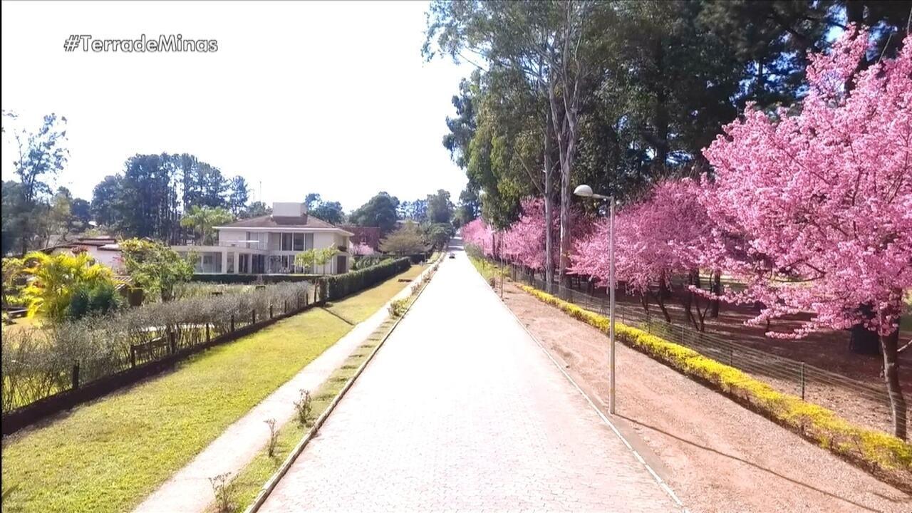 Família de japoneses erradicada em BH cultiva a beleza das cerejeiras