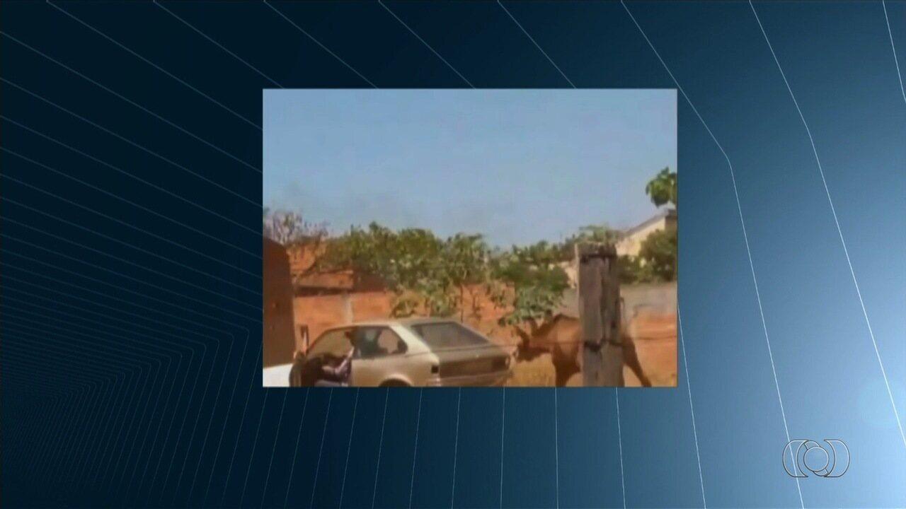 Vídeo mostra policial militar arrastando burro amarrado a carro em Goiânia