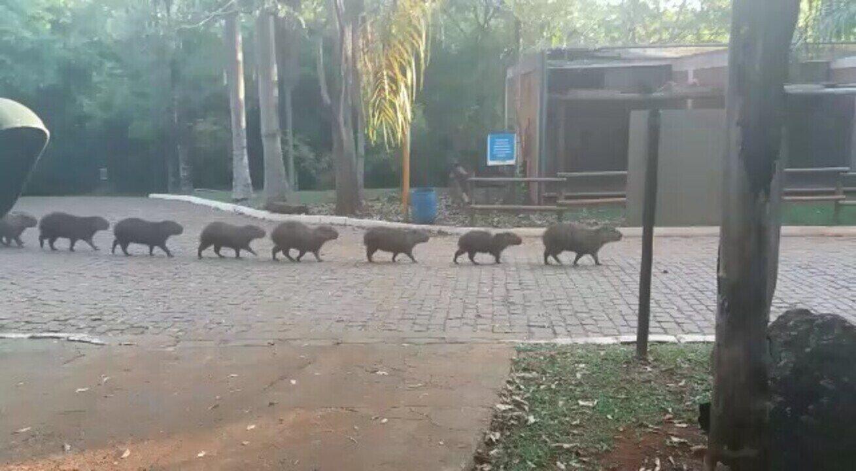 Capivaras 'desfilam' no Parque do Sabiá em Uberlândia