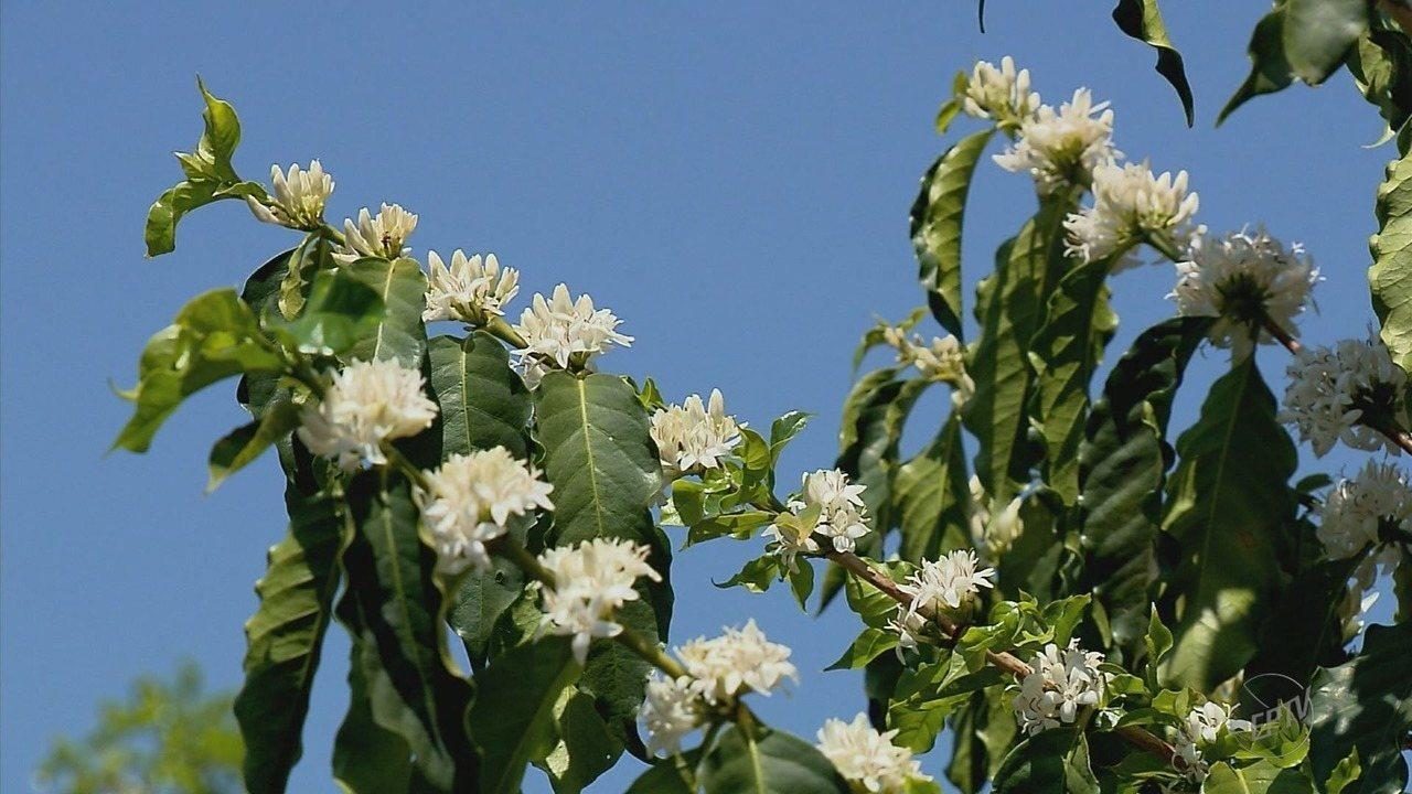 Apicultores produzem mel a partir da florada nos cafezais do Sul de MG