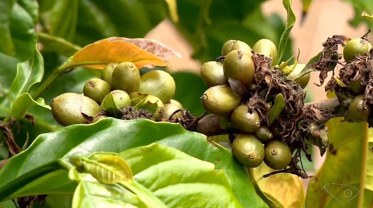 Preço do café conilon cai e desanima produtores rurais capixabas