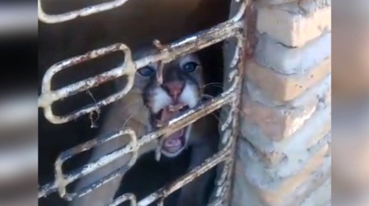 Operação da polícia civil resgata onça parda e outros animais silvestres