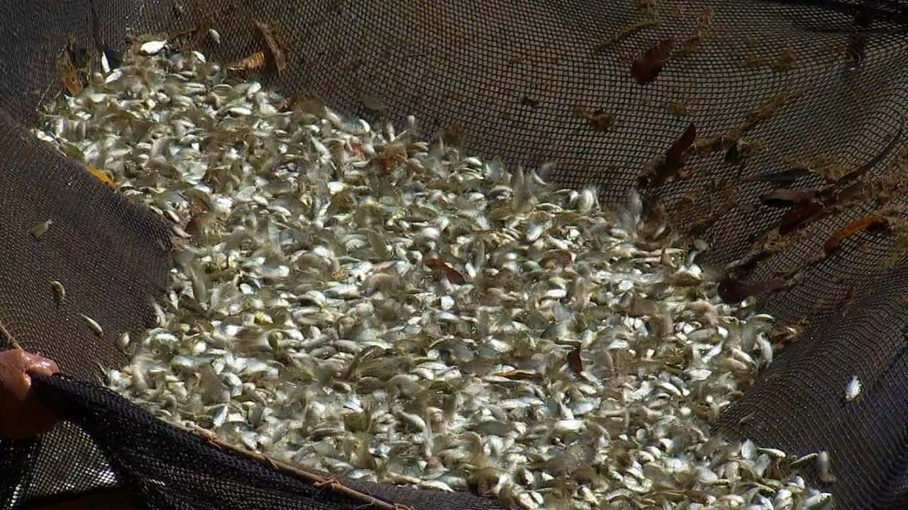 Produtores investem na produção de lambaris para o mercado de iscas