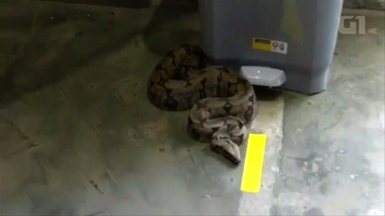 Jiboia é capturada dentro de depósito de empresa em Goiânia