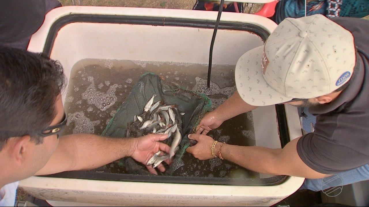 Milhares de alevinos são soltos no Rio Cuiabá por pescadores amadores