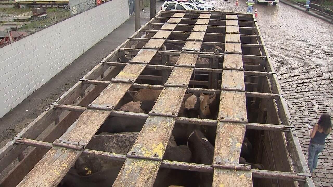 Operação embarca 27 mil bois em navio no Porto de Santos