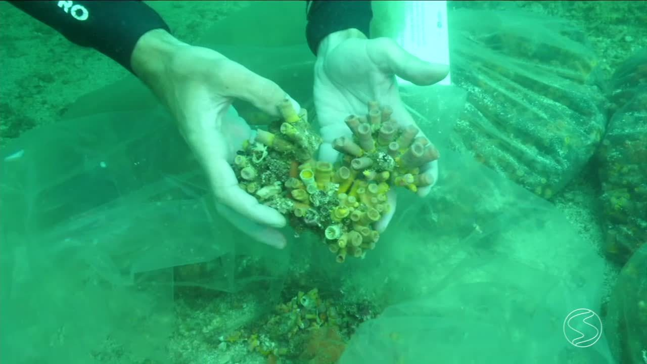 Especialistas pesquisam coral-sol na Ilha Grande, em Angra dos Reis, RJ