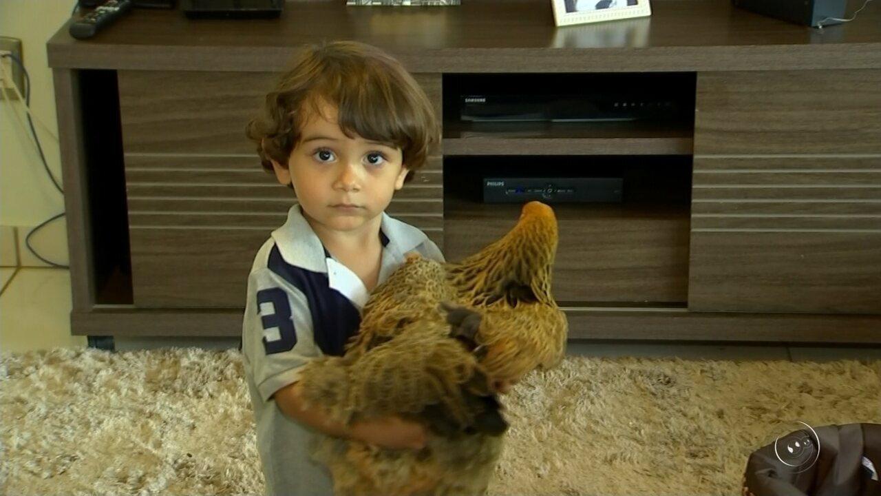 Menino de 2 anos tem galinha como animal de estimação