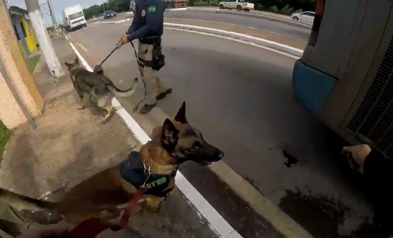 Cães da PRF encontram cerca de 270 kg de droga escondida em ônibus em MT