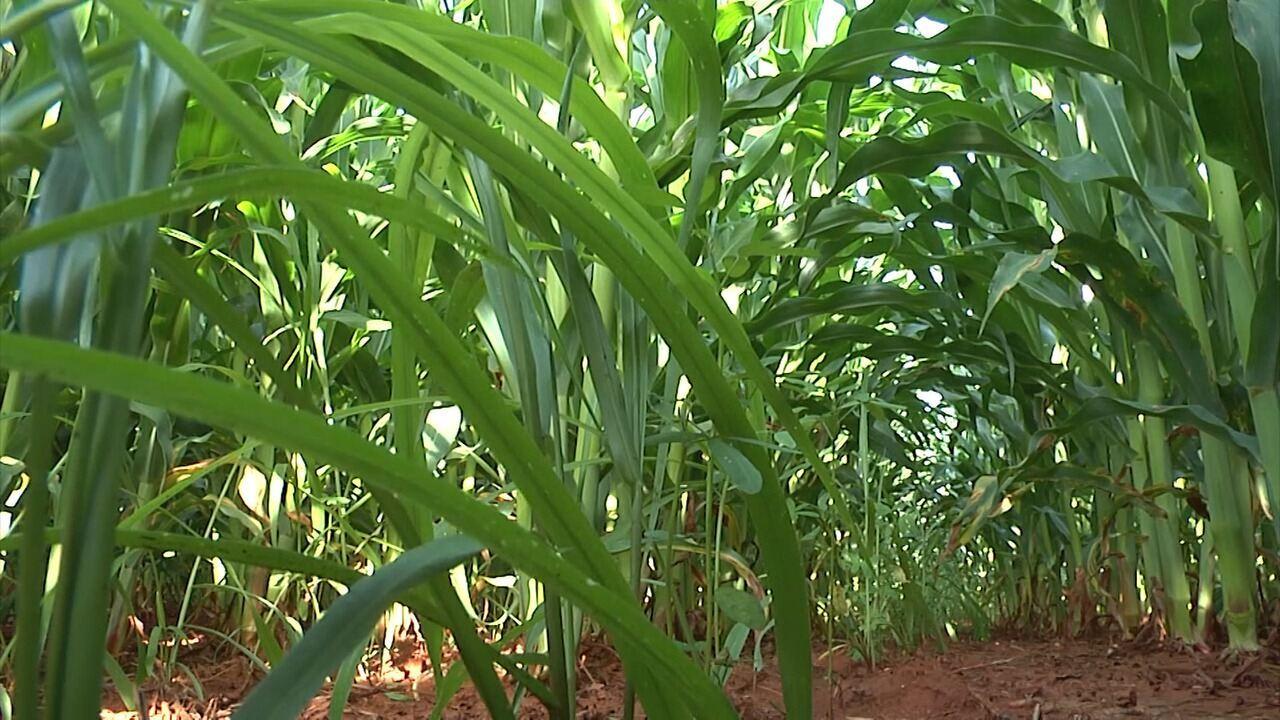 Plantio da safrinha de milho avança no Sul do Maranhão