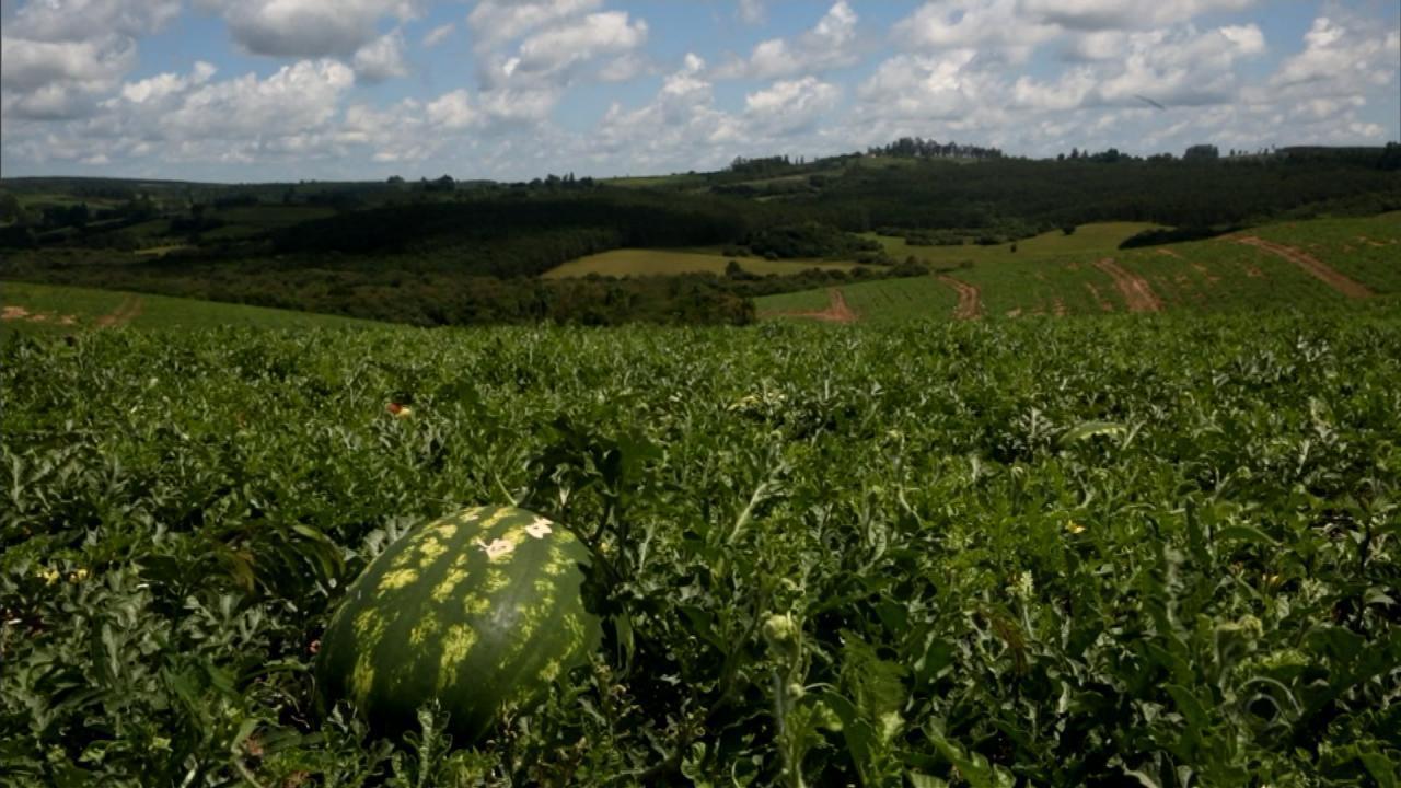Produção de melancia apresenta quebra no RS