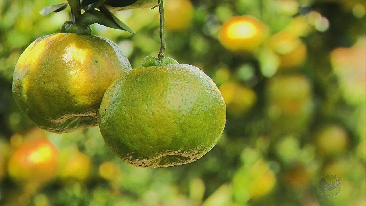 Começa o período de colheita da ponkan no Sul de Minas
