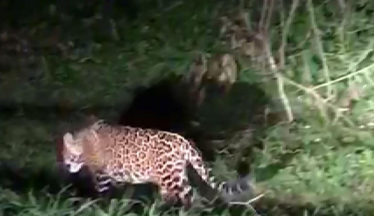 Felino circula pela mata e é registrado por turista